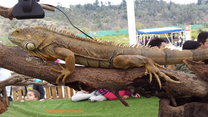 robado iguana