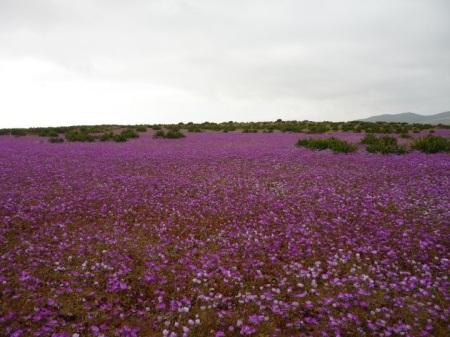desiertofloridoatacama