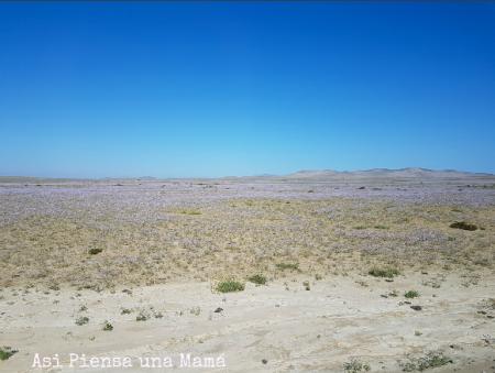 desierto-florido-ruta-costera-atacama