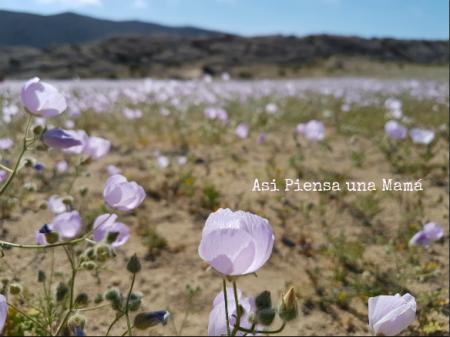 flores-atacama-costa