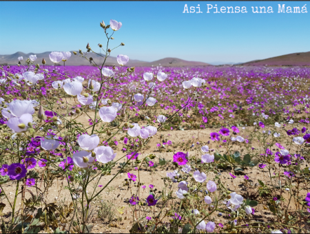 flores-desierto-atacama-rutas