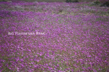 flores-moradas-atacama