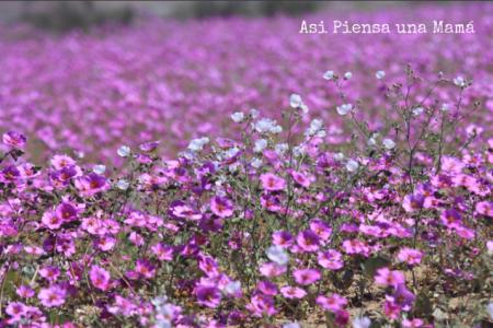 flores-ruta-desierto-florido