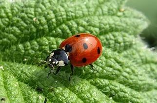 ladybug-mariquita-chinita